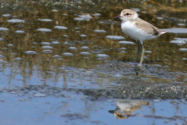 Ebro Delta Kentish Plover Chick