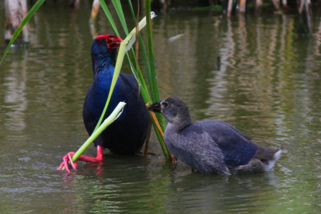 Purple Gallinule or Purple Swamp Hen feeding a chick - Porphyrio porphyrio - Calamón - Polla Blava - Gall Marí