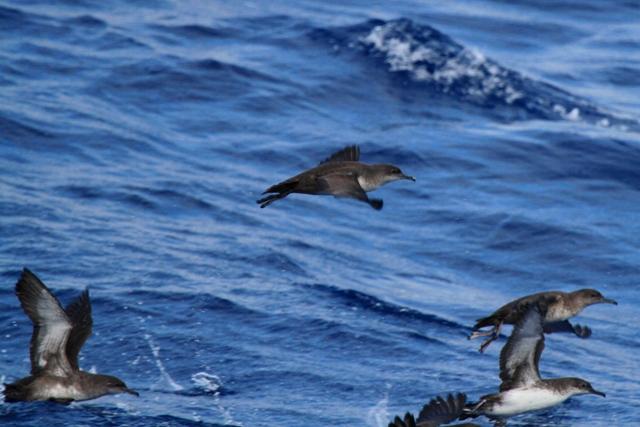 Balearic and Levantine Sheawaters - Puffinus mauritanicus - Pardela Balear - Baldriga balear