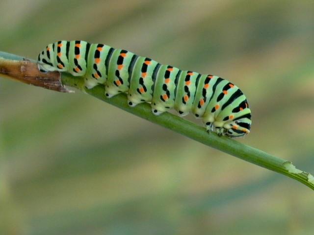Common Swallowtail Caterpillar - Papilio Machaon - Oruga de la mariposa Machaon - Oruga de la papallona rei o Machaon