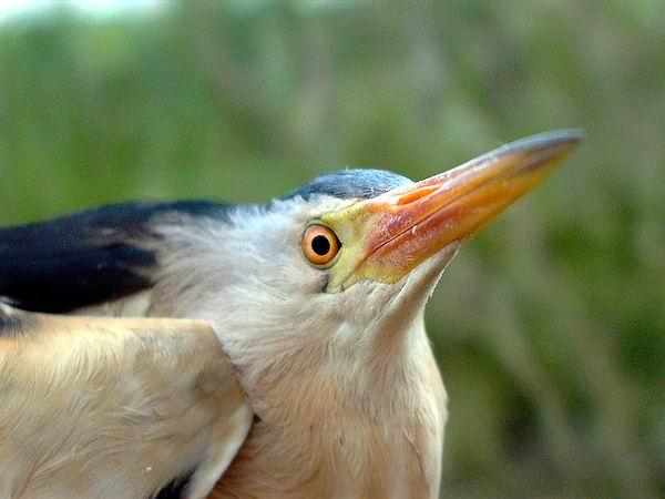 Little Bittern - Ixobrychus minutus - Avetorillo - Martinet menut