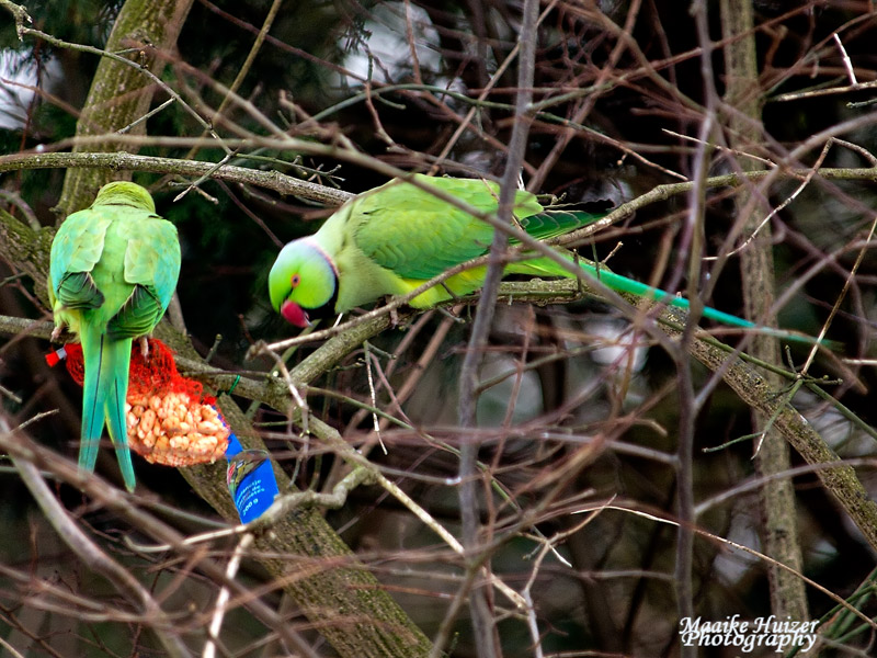 12 - Halsbandparkieten - Ringnecked Parakeets