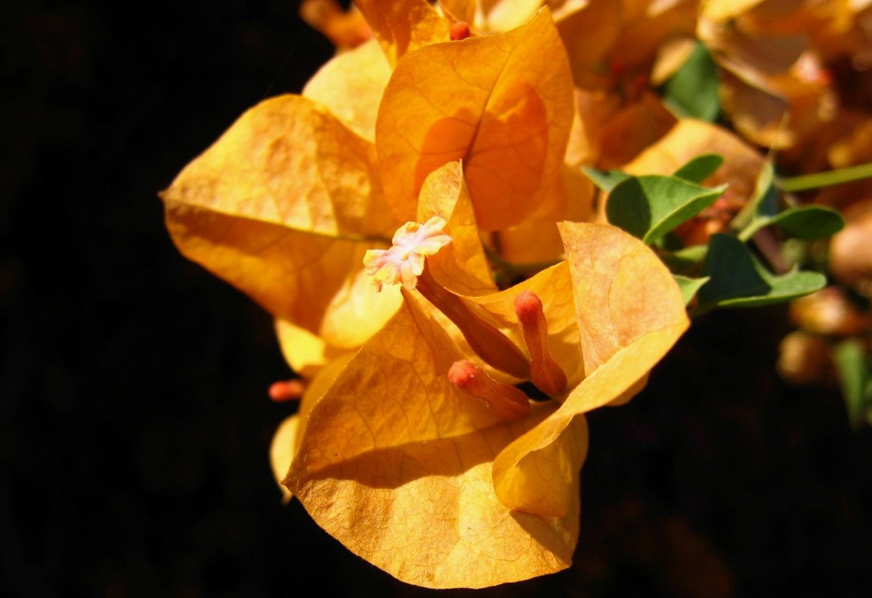 fleur de bougainvillée<br><b>bougainvillaea flower</b>