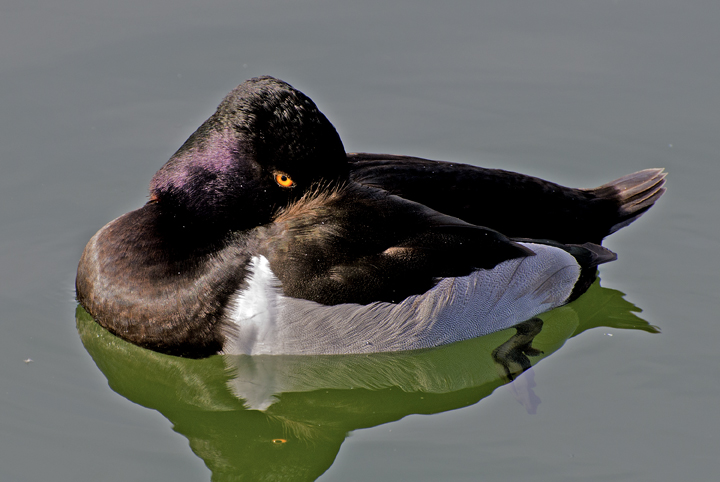Ring-necked Duck getting ready for a snooze, Gilbert Riparian Preserve, Gilberet, AZ