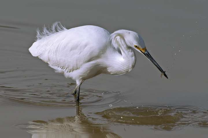 Snowy Egret fishing, Gilbert Riparian Preserve, Gilbert, AZ