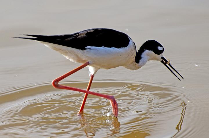 Black-necked Stilt fishing, Gilbert Riparian Preserve, Gilbert, AZ