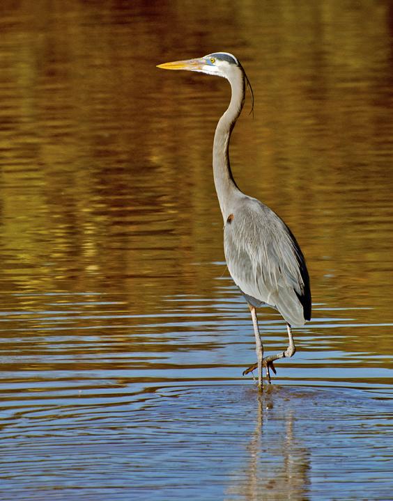 Great Blue Heron, Gilbert Riparian Preserve, AZ