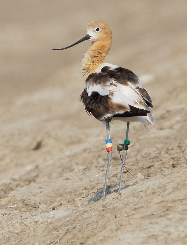 American Avocet, with bands and transmitter