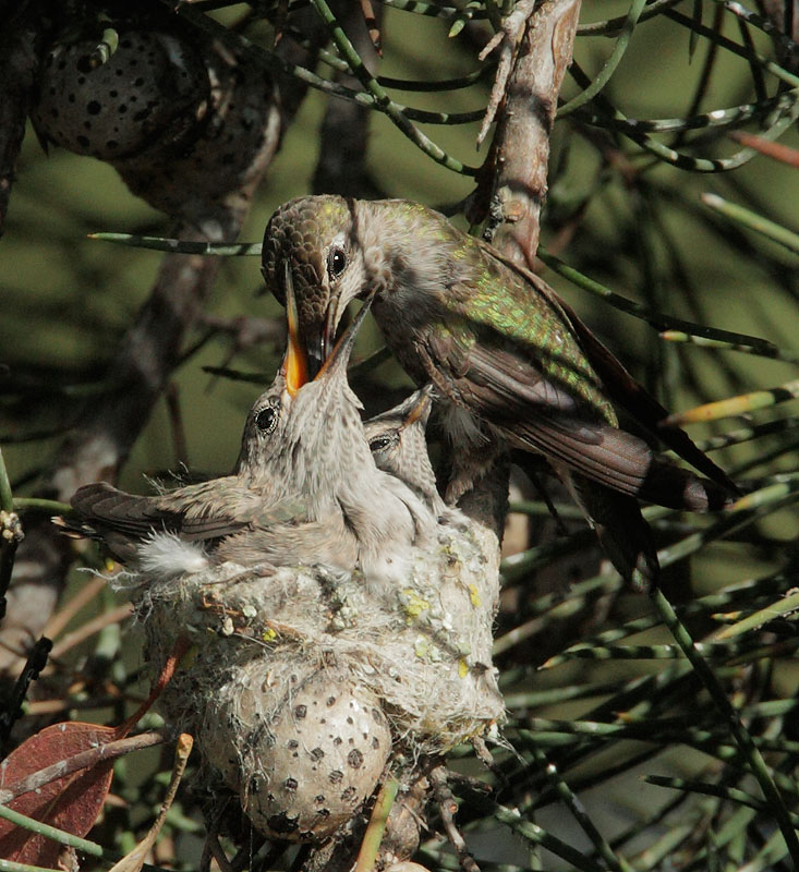 Annas Hummingbirds, adult feeding nestlings