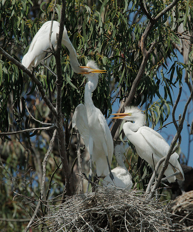 Great Egrets, adult  feeding nestling