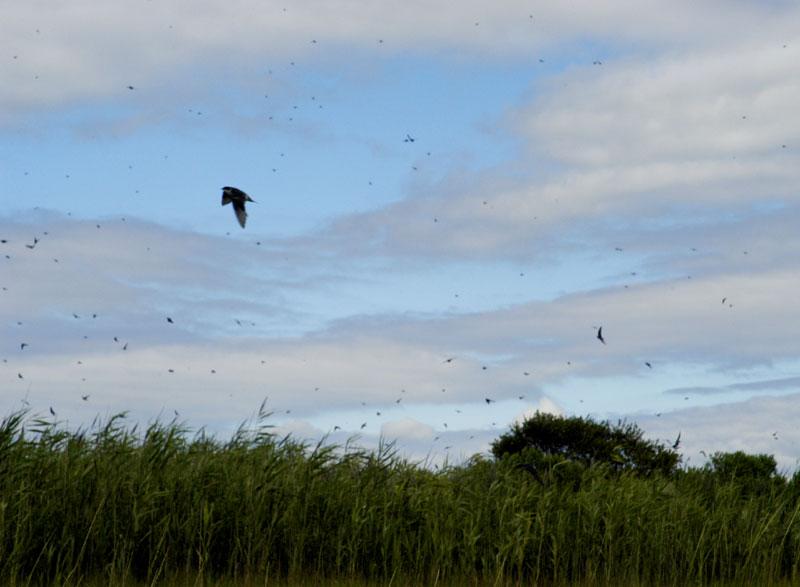swallows3.jpg