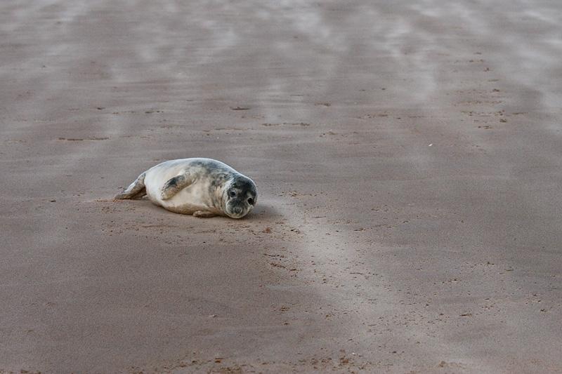 <i>Halichoerus grypus</i><br/>Grey seal