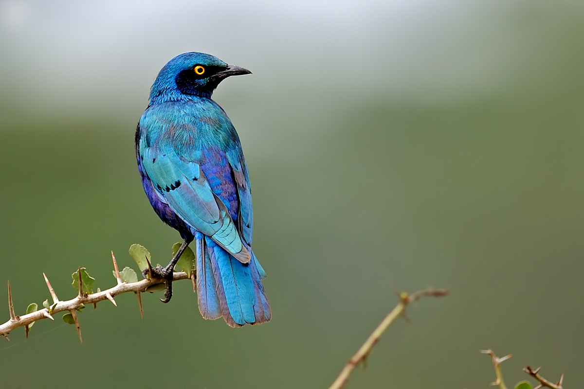 Greater Blue-eared Starling.jpg