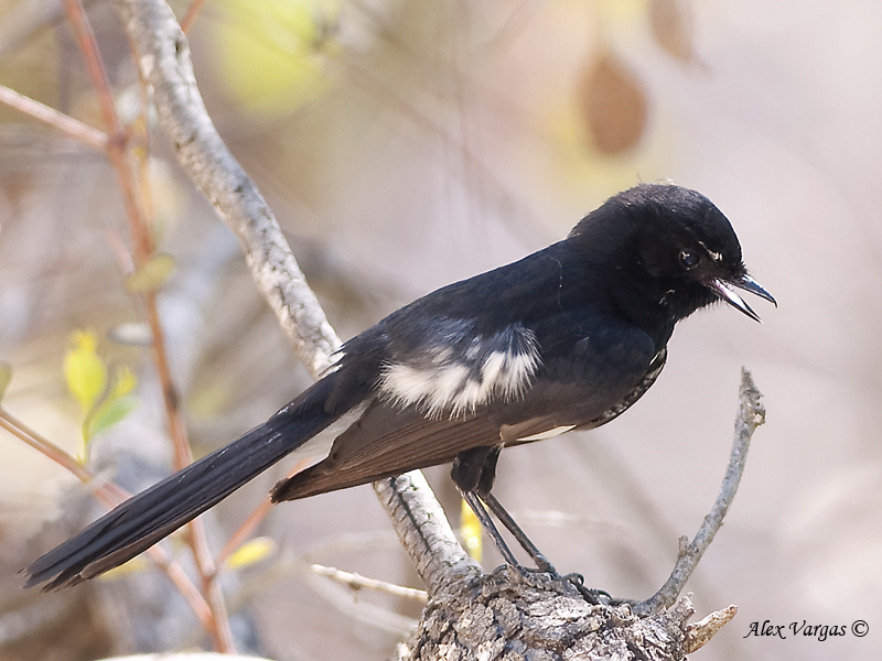 Willie Wagtail - juvenile