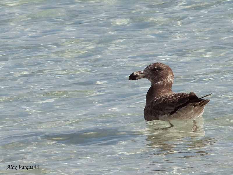 Pacific Gull - juvenile 2