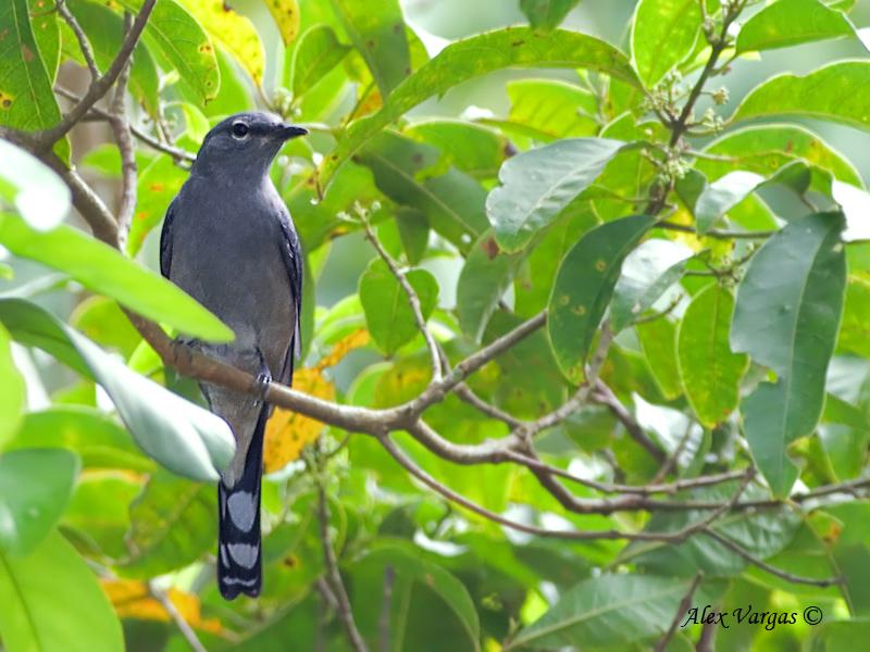 Black-winged Cuckooshrike - sp 304