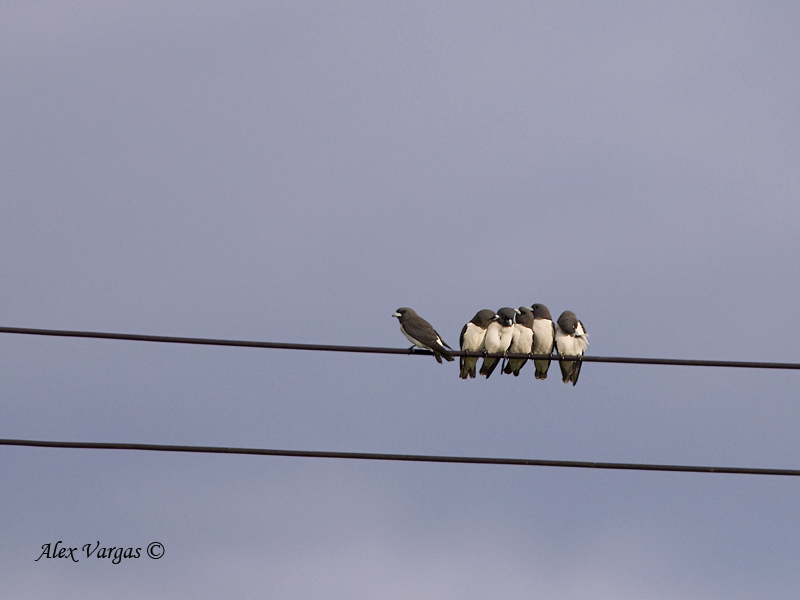 White-breasted Woodswallow - far out there!