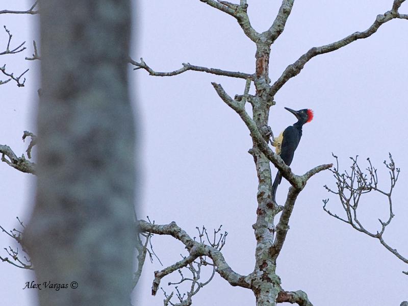 White-bellied Woodpecker - far away