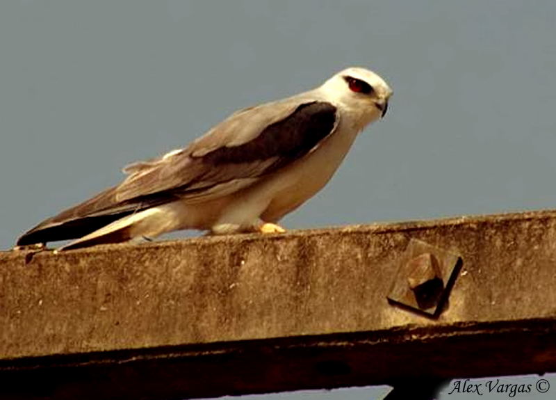 Black-shouldered Kite -- sp 135