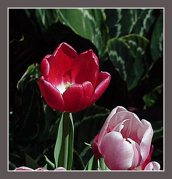 Tulip at the Belagio