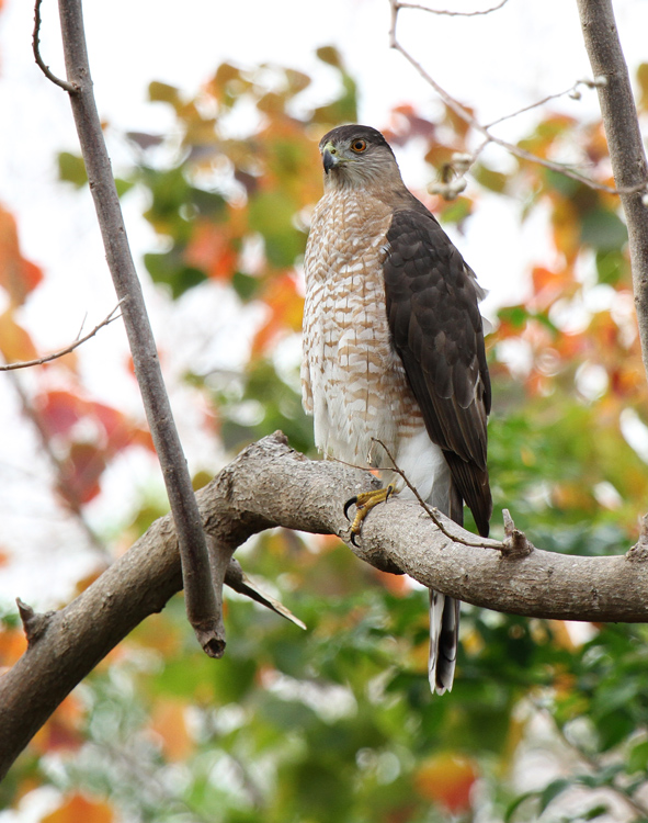 Coopers Hawk, Paradise Pond