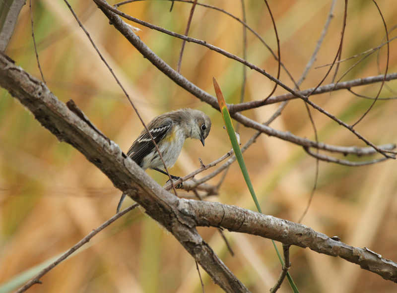 Yellow-rumped Warbler, Birding Center