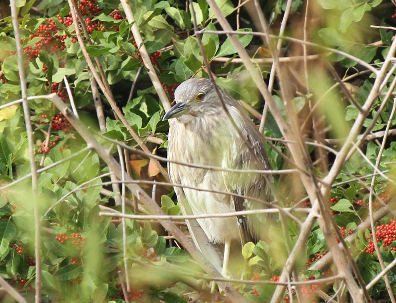 Black-crowned Night Heron, Paradise Pond
