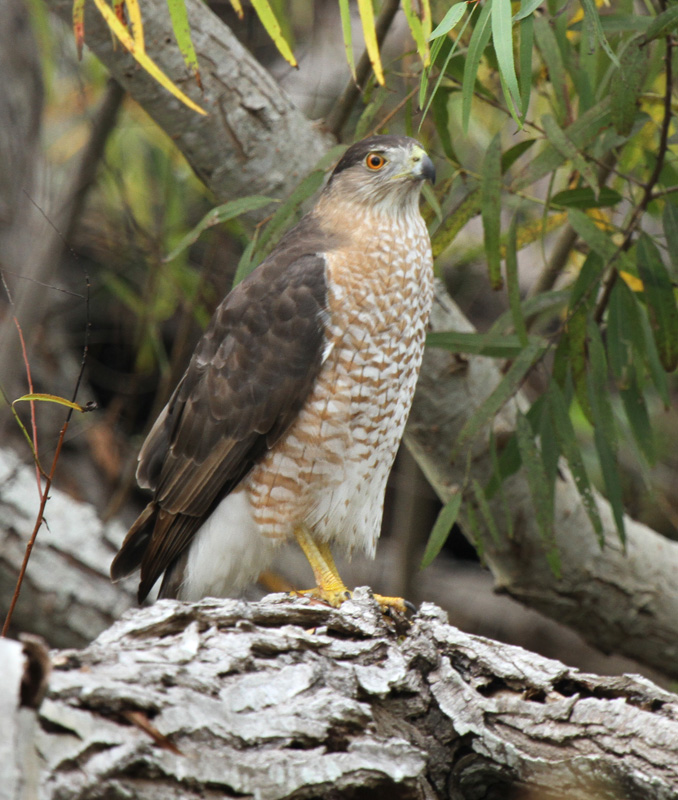 Coopers Hawk at Paradise Pond