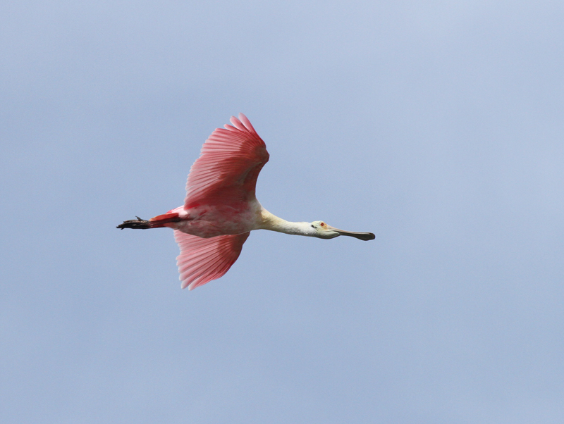 Roseate Spoonbill, Birding Center
