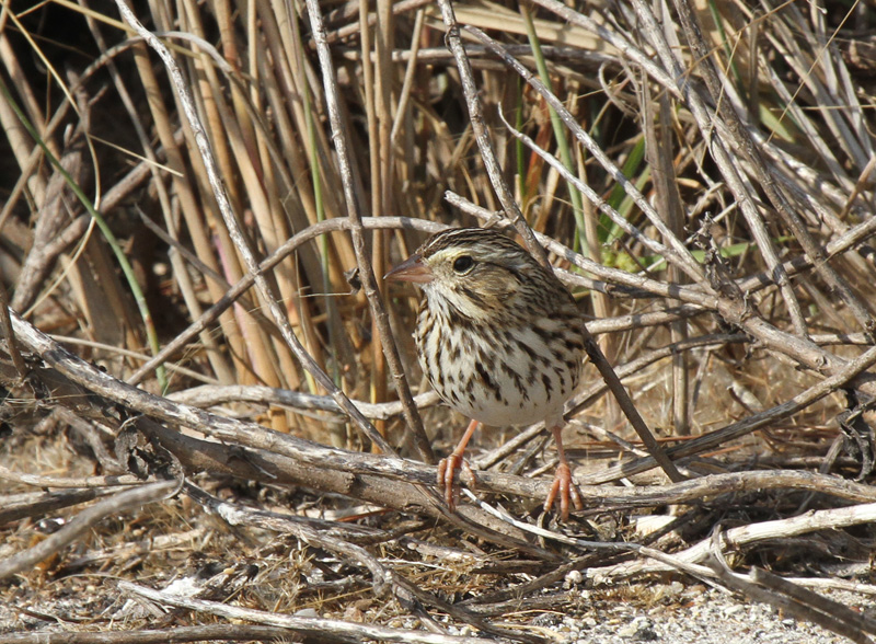 Savannah Sparrow, Charlies Pasture