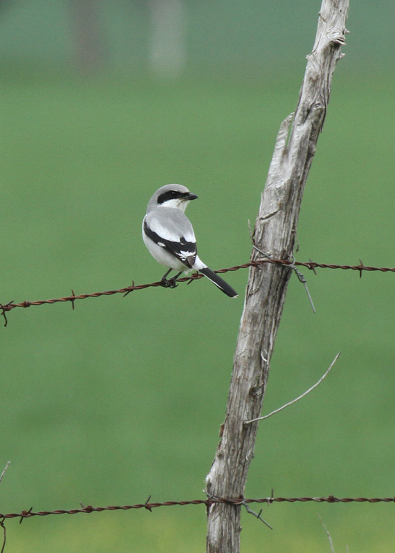 Loggerhead Shrike, Coryell County