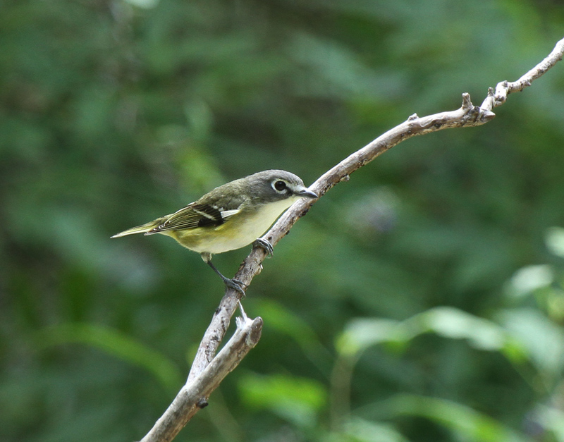 Blue-headed Vireo, Warbler Woods