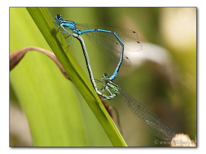 Grosse Pechlibellen / Ischnura elegans (7350)