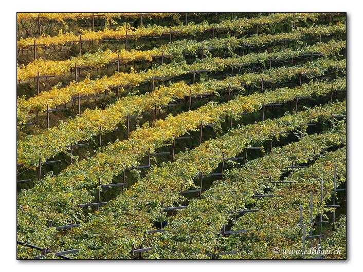 Hängender Rebberg / hanging Vineyards (8896)