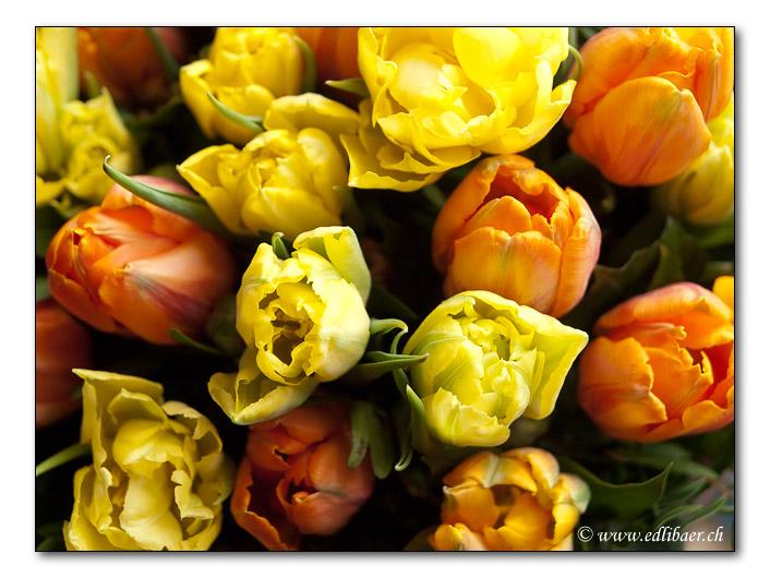 Tulpe / Tulipa gesneriana / Tulip (3290)