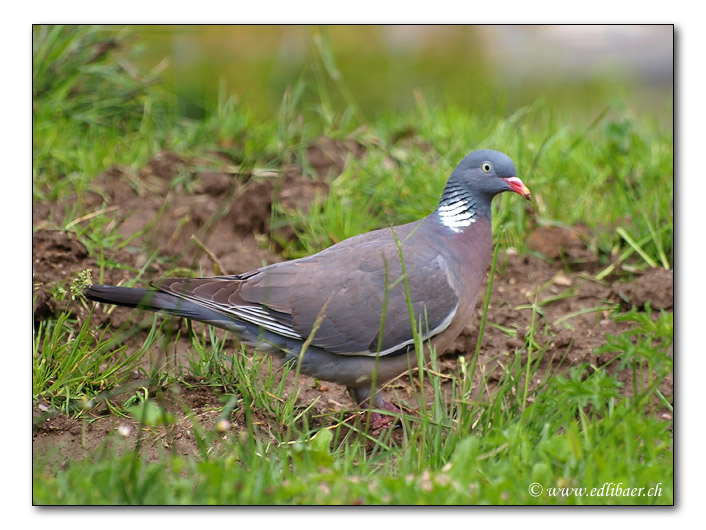 Ringeltaube / Wood Pigeon / Columba palumbus (4582)