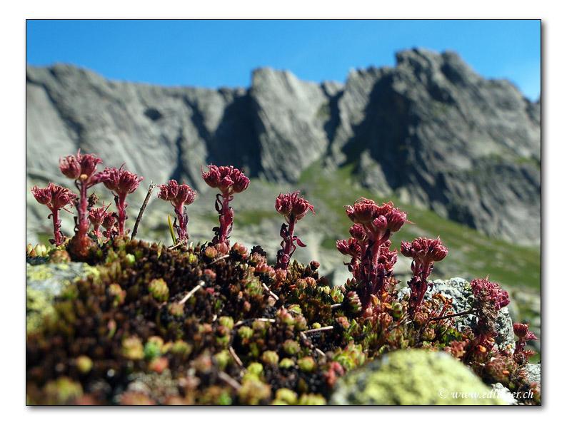 Berg-Hauswurz / Sempervivum montanum (1004)