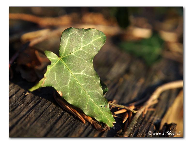 Efeu / ivy / Hedera (0481)