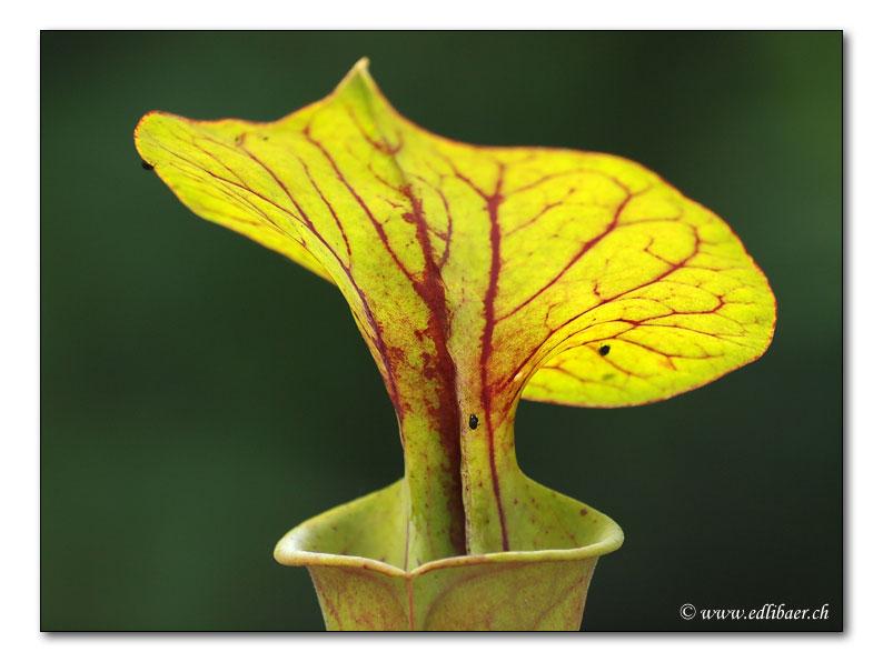 Gelbe Schlauchpflanze / Sarracenia flava (1295)