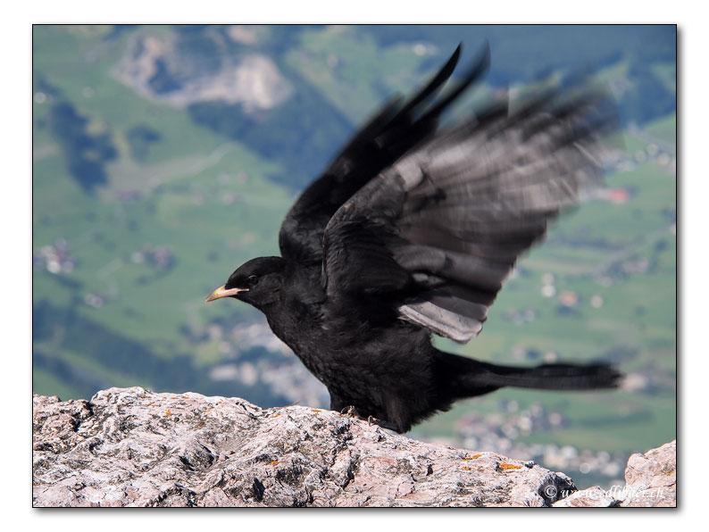 Alpendohle / alpine chough / Pyrrhocorax graculus (5475)