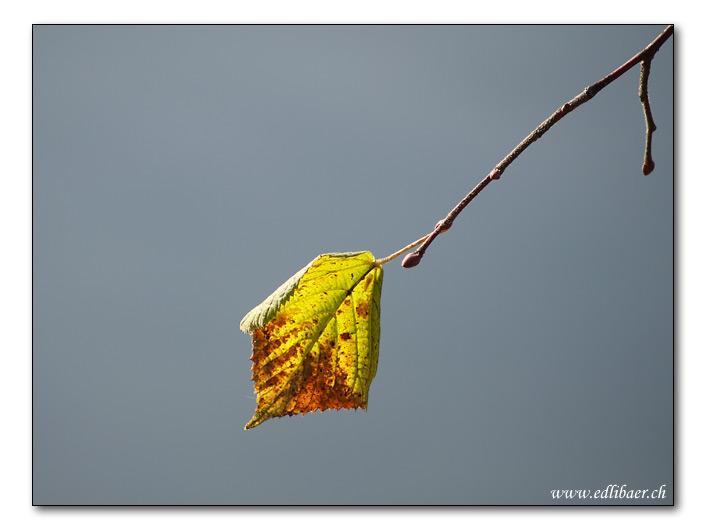 last leaf / letztes Blatt