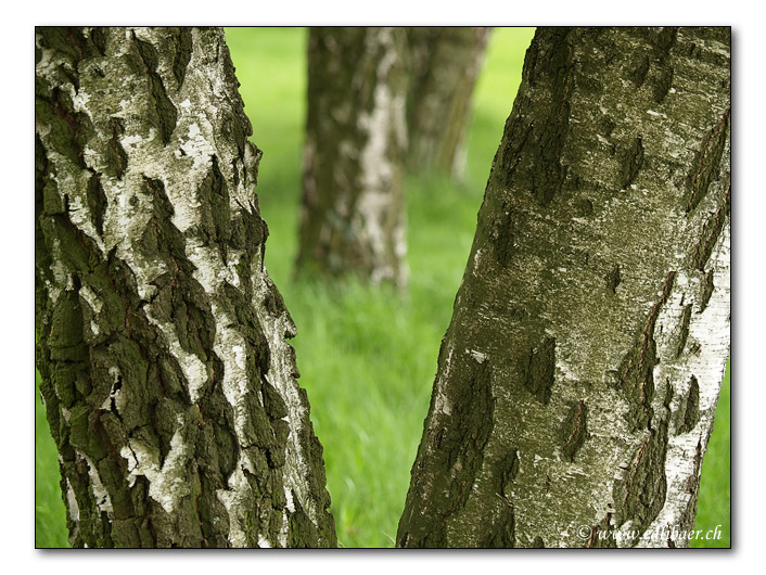 Birken / birch trees