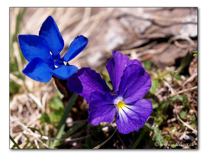 Gentiana / Viola calcarata