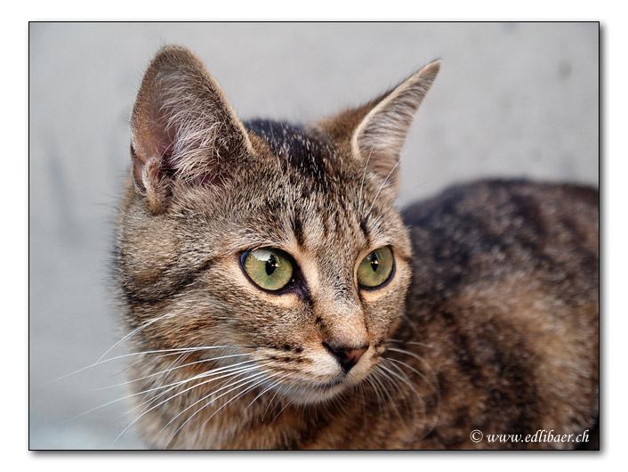 Hauskatze / domestic cat / Felis silvestris forma catus