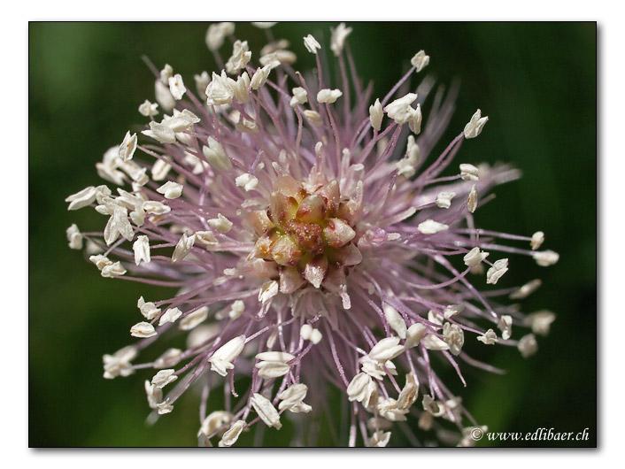 Spitzwegerich / ribwort / Plantago lanceolata