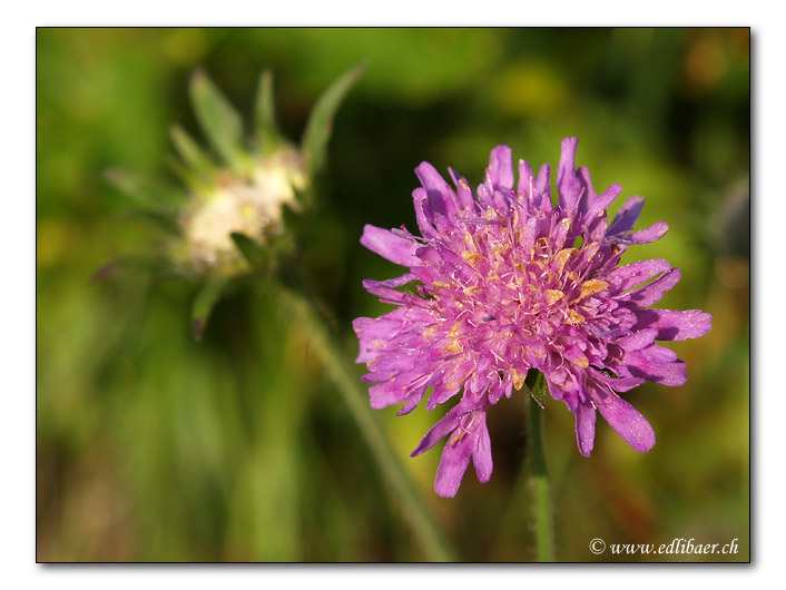 Wiesen-Witwenblume / Knautia arvensis / Wiesenskabiose