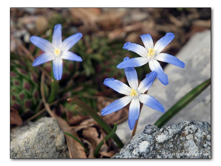 Zweiblättriger Blaustern / Scilla bifolia