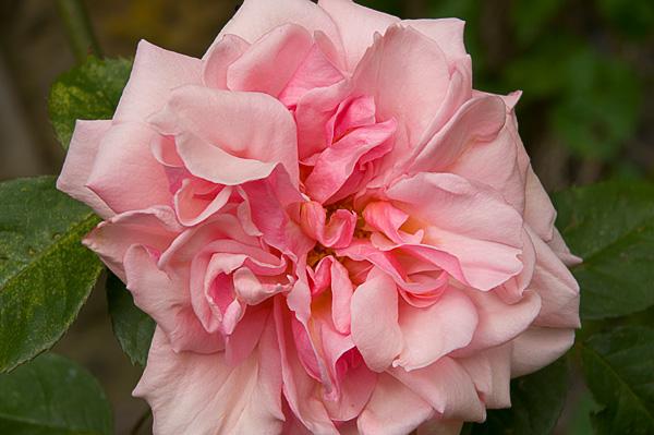 pinkwallrose.jpg