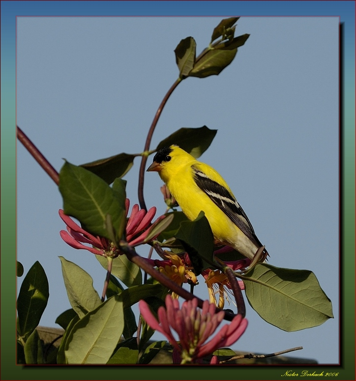 Male American Goldfinch On Trumpet  Honeysuckle Vine