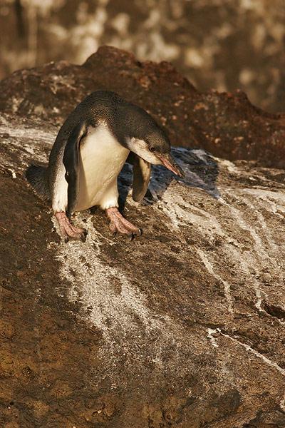 Galapagos Penguin (Elizabeth Bay, Isabela)